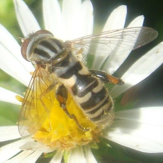 Syrphid on frost aster 3 - Lejops