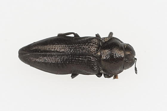 Small bup - Aphanisticus cochinchinae
