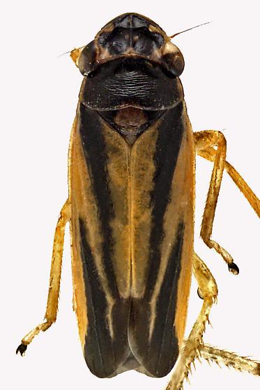 Leafhopper Bug - Evacanthus interruptus