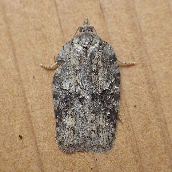 Tortricidae: Acleris - Acleris