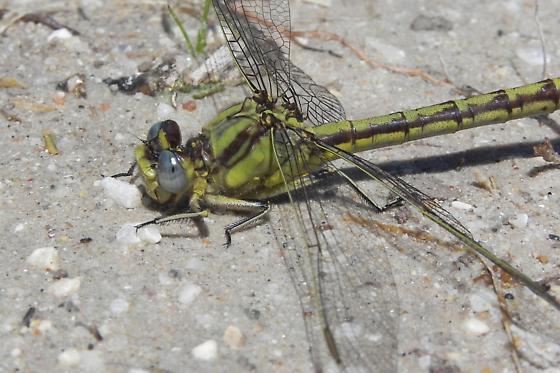 Dragonfly - Arigomphus lentulus - female