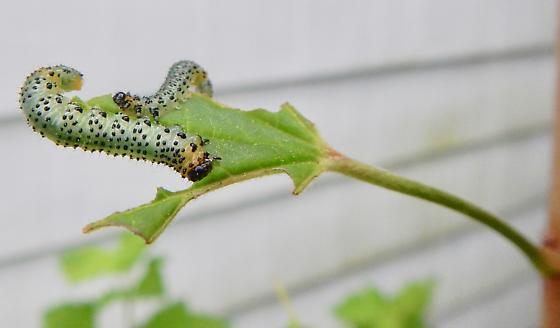 Sawfly in Boston, Massachusetts - Nematus ribesii