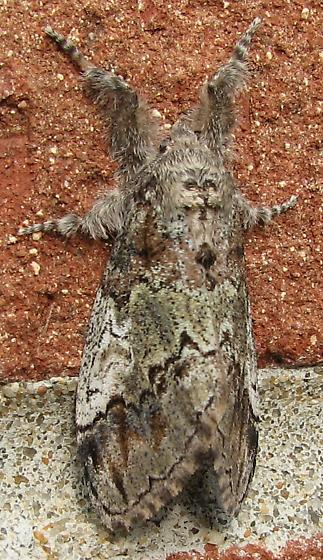Yellow-based Tussock Moth - Dasychira basiflava - female