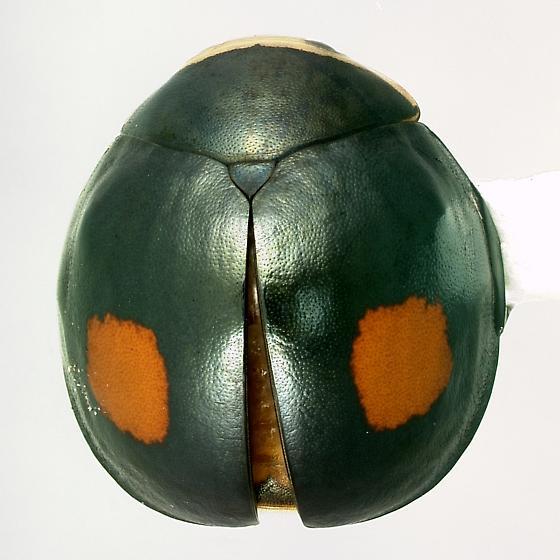 Thalassa montezumae Mulsant - Thalassa montezumae - male