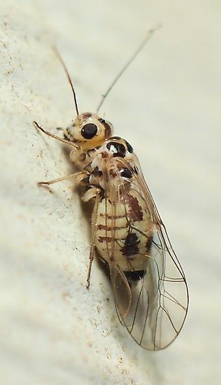 Blaste sp.? - Blastopsocus variabilis - female