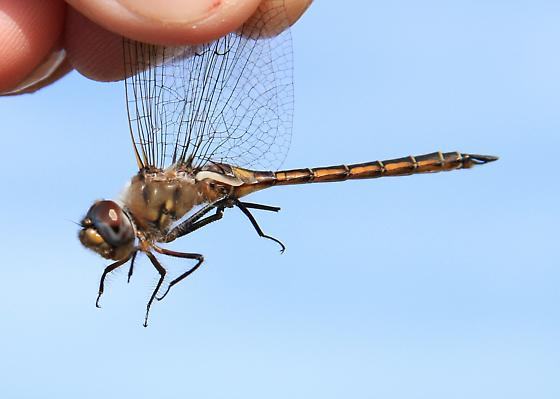 Epitheca stella - Florida Baskettail - Epitheca stella - male