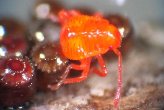 Heteroptera eggs and nymph - Euthyrhynchus floridanus