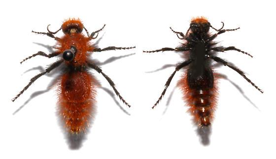 Unidentified - Dasymutilla - female