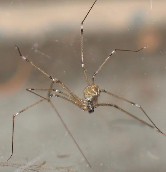 Pholcid - Marbled Cellar Spider? - Holocnemus pluchei