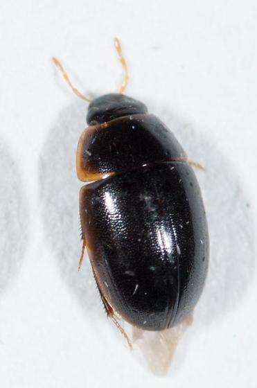Hydrophilidae #5 - Cymbiodyta