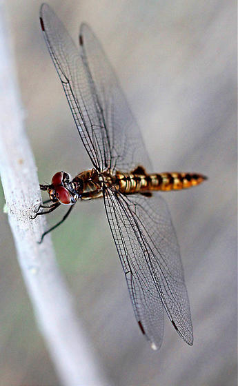 Reddish-brown dragonfly ID - Pantala hymenaea