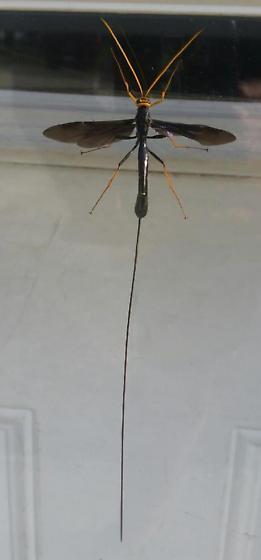 Ichneumon wasp? - Megarhyssa atrata - female