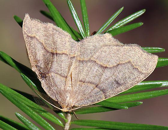 Moth - Lambdina fiscellaria - male