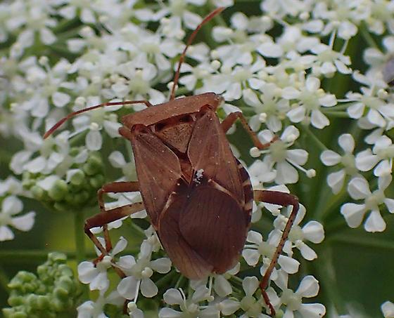 Coreidae sp - Anasa scorbutica