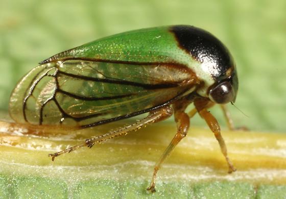 Treehopper - Acutalis tartarea