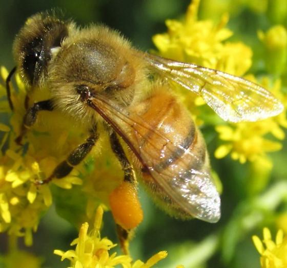 bee 1 - Apis mellifera