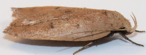 Moth to porch light  - Machimia tentoriferella
