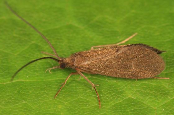 caddisfly - Phylocentropus lucidus - male