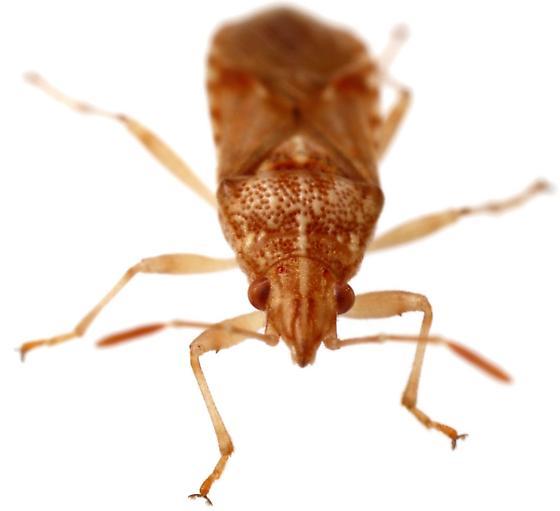 Sycamore Seed Bug? - Belonochilus numenius