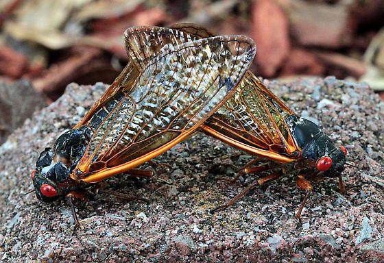 Magicicada sp. - Magicicada tredecim - male - female