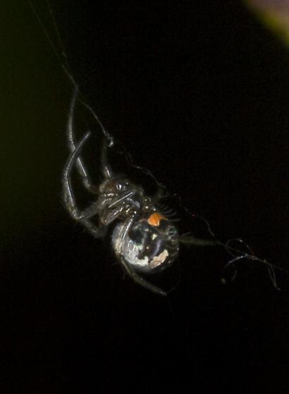 Very small spider  - Leucauge venusta