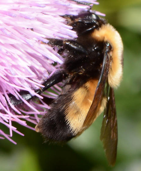 Bumblebee at PVR - Bombus nevadensis