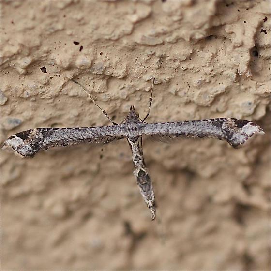 Plume moth with three dark diamonds on thorax  - Anstenoptilia marmarodactyla