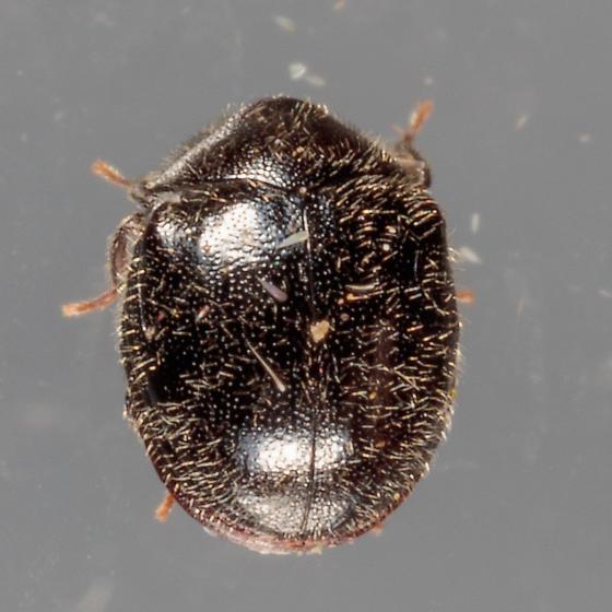 Small hairy black beetle - Caenocara