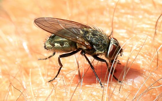 cluster fly? - Pollenia