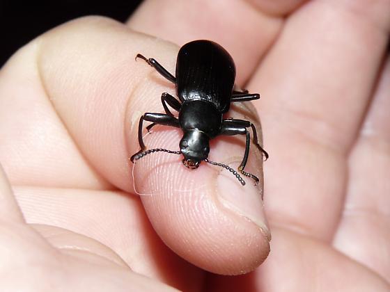 Which beetle? - Merinus laevis