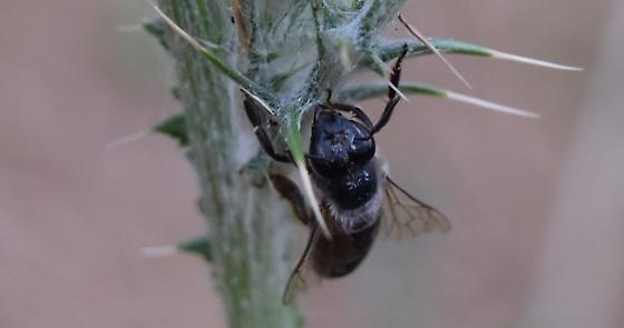 Bee on Thistle - Apis mellifera