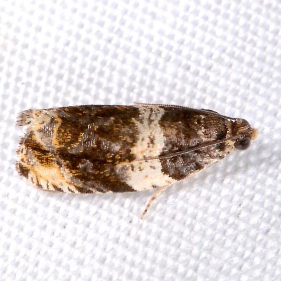 Olethreutes - Olethreutes fasciatana