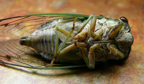 Cicada - Neotibicen winnemanna