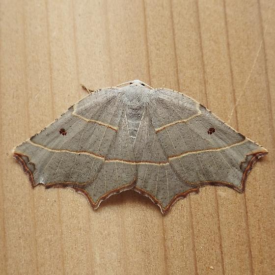 Geometridae: Metanema inatomaria - Metanema inatomaria - female