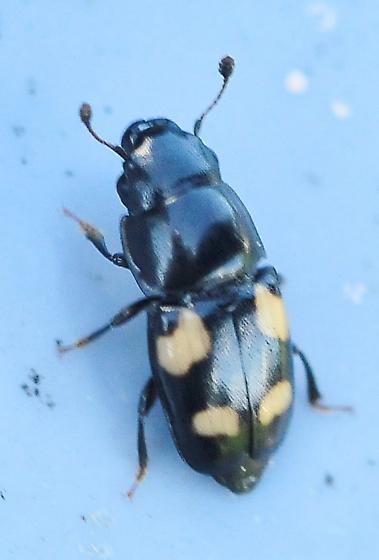 Coleoptera - Beetles - Glischrochilus quadrisignatus