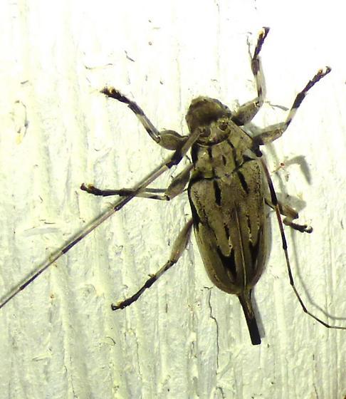 Acanthocinus nodosus - Lesser Pine Borer - Acanthocinus nodosus
