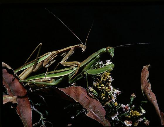 Tenodera angustipennis, mating pair - Tenodera angustipennis - male - female