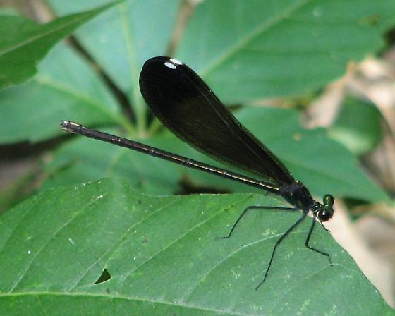 Ebony Jewelwing - Female - Calopteryx maculata - female