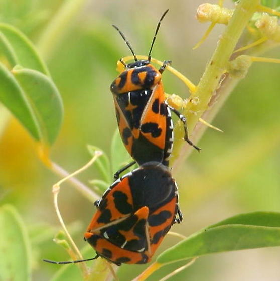 Unknown Beetle - Murgantia histrionica - male - female