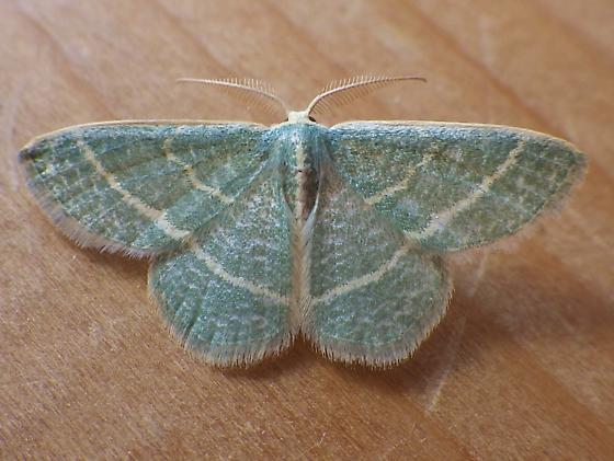Geometridae: Chlorochlamys chloroleucaria - Chlorochlamys chloroleucaria - male