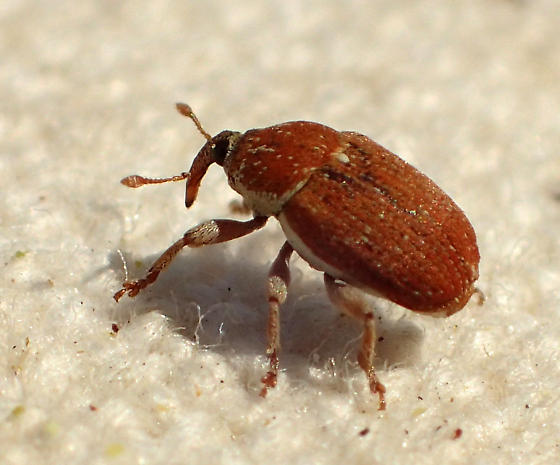 Brick red weevil - Sibinia fulva - BugGuide Net