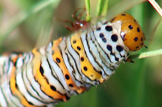 What kind of caterpillar is this? view 3 - Eudryas unio