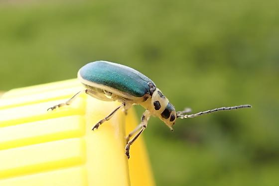 Coyote Brush Leaf Beetle - Trirhabda flavolimbata - Trirhabda flavolimbata