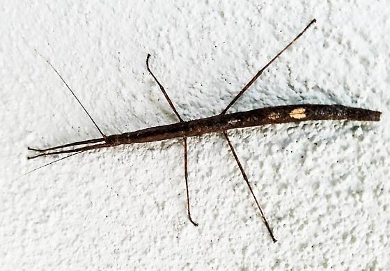 Walking stick - Carausius morosus