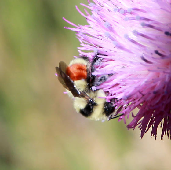 Bumblebee with red band on abdomen.............species? - Bombus huntii