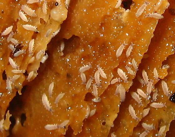 Tiny white termite-shaped bugs on mushroom gills - Ceratophysella
