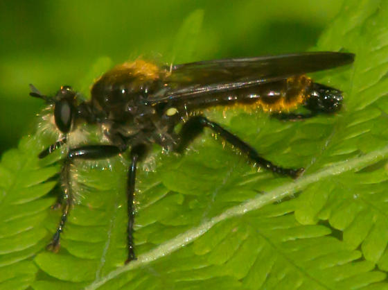 Yellow-backed robber fly - Laphria