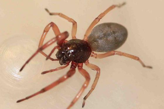 unknown spider sp. (?Trachelidae)(?Trachelas tranquillus) - Trachelas tranquillus