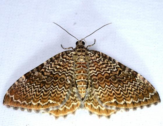 Rheumaptera prunivorata - Rheumaptera