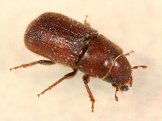 Red Turpentine Beetle - Dendroctonus valens
